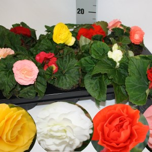 Begonia FORTUNE MIX