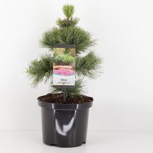 Pinus pumila 'Glauca'