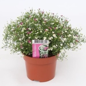 Gypsophila muralis MIX IN POT