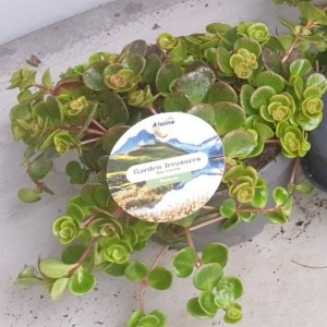 Sedum tetractinum 'Coral Reef' (Leeuw-den Engelsen)