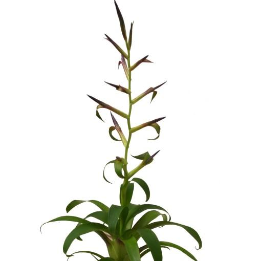 Tillandsia leiboldiana 'Mora' (Ammerlaan, The Green Innovater)