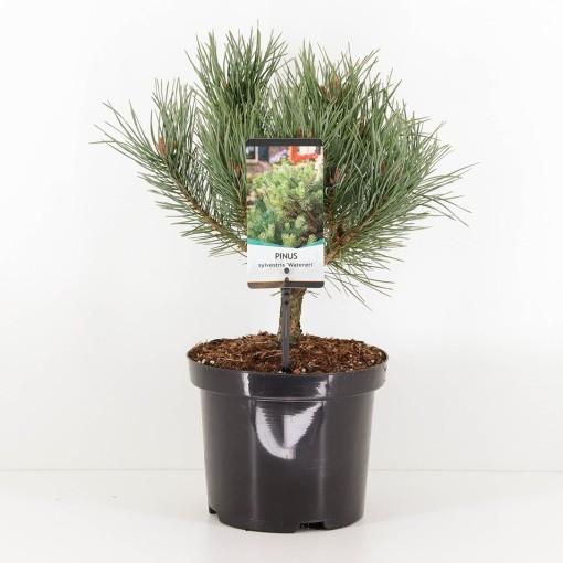Pinus sylvestris 'Watereri' (Bremmer Boomkwekerijen)