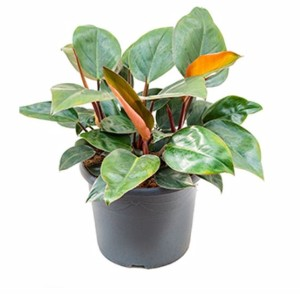 Philodendron 'Red Congo' (Nieuwkoop Europe B.V.)