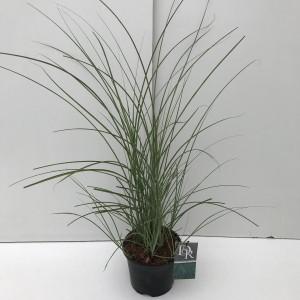 Miscanthus sinensis 'Gracillimus' (Cammeraat Potcultuur)