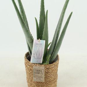 Aloe vera
