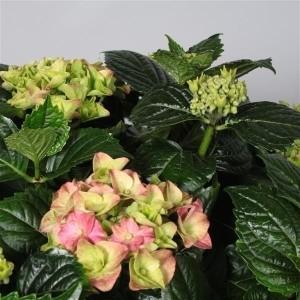 Hydrangea macrophylla MIX (JoGrow B.V.)