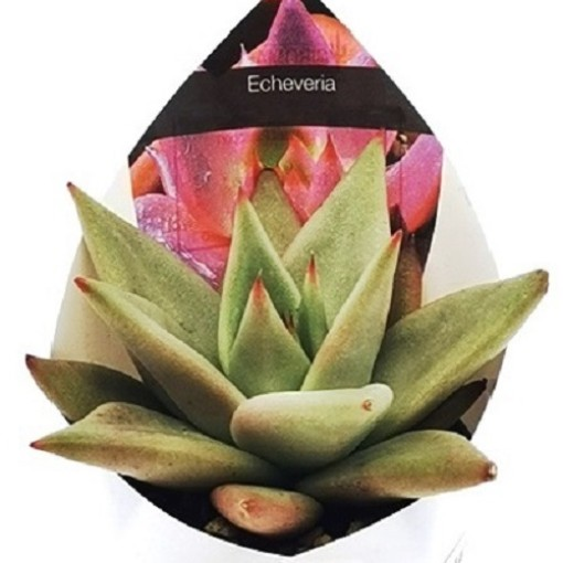 Echeveria agavoides 'Aquamarine' (Giromagi)