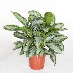Aglaonema 'Silver Bay' (Ammerlaan, The Green Innovater)