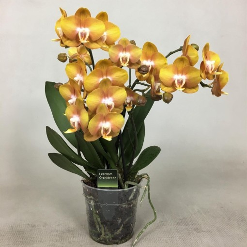 Phalaenopsis LAS VEGAS (Leerdam Orchideeën)