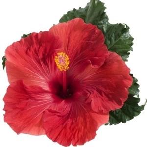 Hibiscus rosa-sinensis 'Volcano' (De Wilgenlei b.v.)