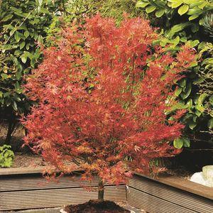 Acer palmatum 'Wilson's Pink Dwarf' (Son & Koot BV)