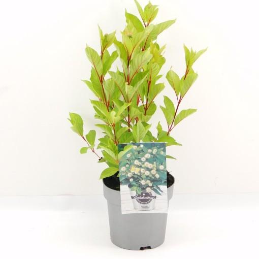 Cephalanthus occidentalis (Hooftman boomkwekerij)