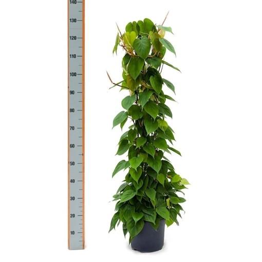 Philodendron scandens (Nieuwkoop Europe B.V.)