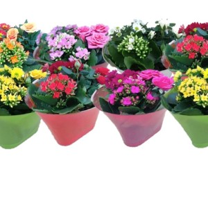 Flowering plants MIX IN POT