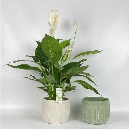Spathiphyllum BINGO CUPIDO (Westland Plant)
