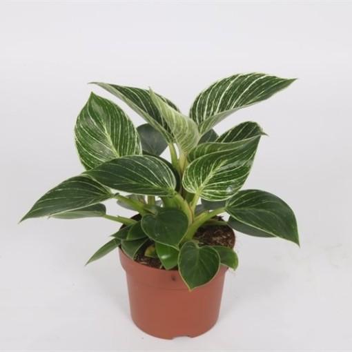 Philodendron BIRKIN / WHITE MEASURE (Bunnik Plants)