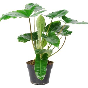 Philodendron burle-marxii