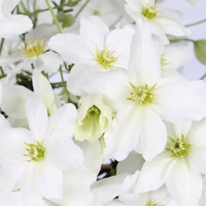Clematis 'Avalanche ®' (Hoogeveen Plants)