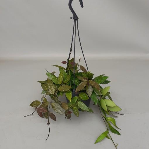 Hoya gracilis (van der Velden, Hkw.)