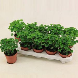 Pelargonium MOSQUITAWAY LIZZY (Van der Valk bv)