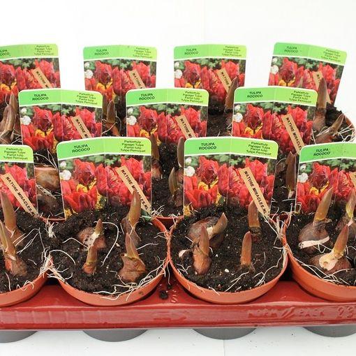 Tulipa 'Rococo' (Gebr. Straathof)