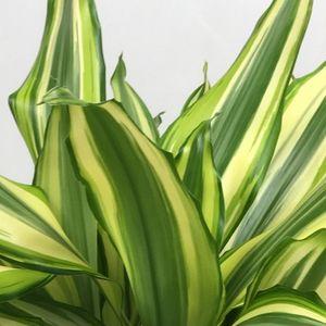 Dracaena fragrans 'Diamond Dream' (Vireõ Plant Sales)