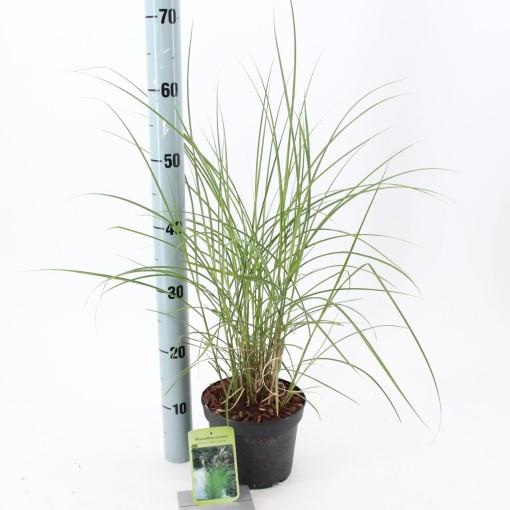 Miscanthus sinensis 'Kleine Silberspinne' (About Plants Zundert BV)