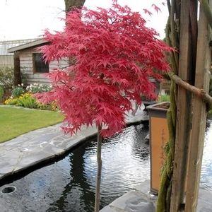 Acer palmatum 'Beni-maiko' (Van Son & Koot BV)