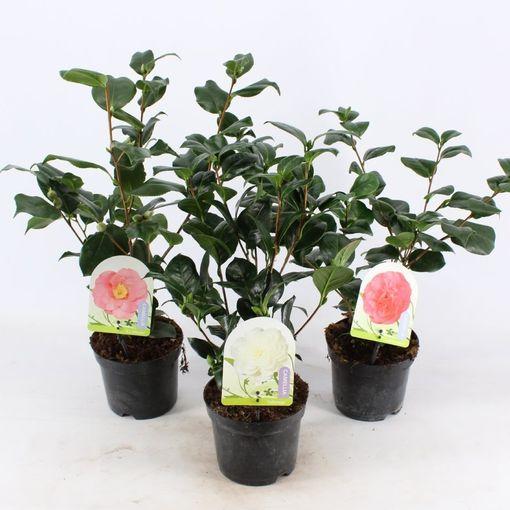 Camellia japonica MIX (Snepvangers Tuinplanten BV)