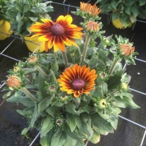 Rudbeckia 'Laughing SmileyZ' (Experts in Green)