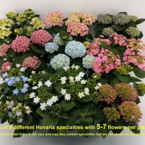 Hydrangea macrophylla HOVARIA MIX