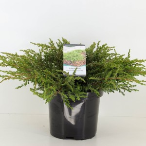 Juniperus communis 'Repanda'