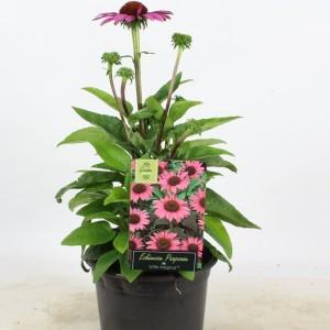 Echinacea purpurea 'Little Magnus' (Rijnbeek Boomkwekerijen B.V.)