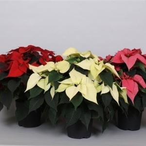 Euphorbia pulcherrima CHRISTMAS FEELINGS MIX (Peeters Potplanten)