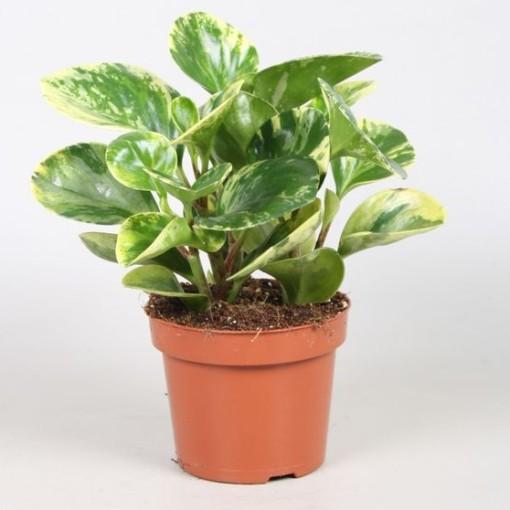 Peperomia obtusifolia 'Marble' (Vireõ Plant Sales)
