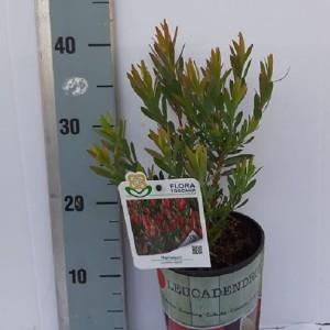 Leucadendron 'Harlequin'