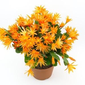 Rhipsalidopsis MIX (J. de Vries Potplantencultures BV)