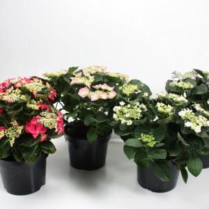 Hydrangea macrophylla TELLER MIX