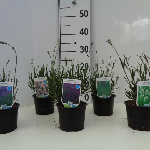 Lavandula angustifolia MIX (About Plants Zundert BV)