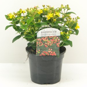 Hypericum MIRACLE BLOSSOM