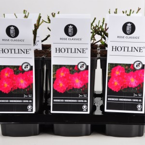 Rosa HOTLINE (Lakei Boomkwekerijen)