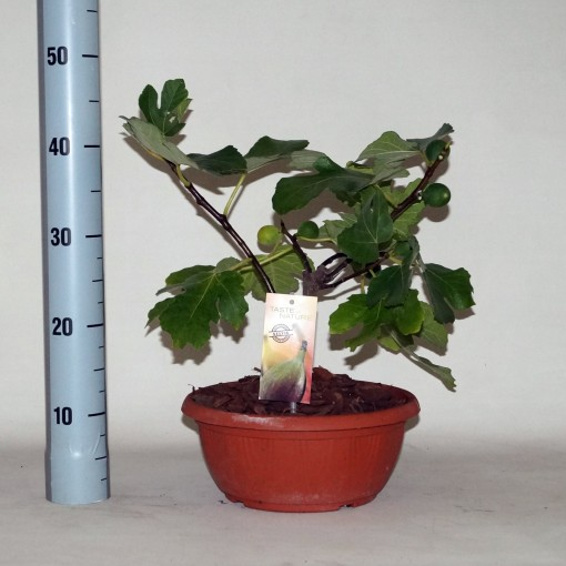 Ficus carica (BOGREEN Outdoor Plants)