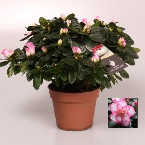 Rhododendron 'Hülsten'