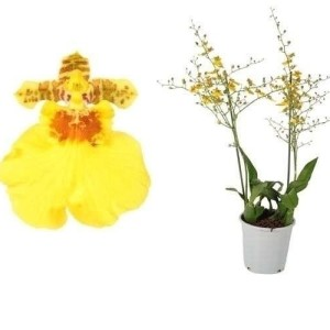Oncidium 'Münsterland Stern'