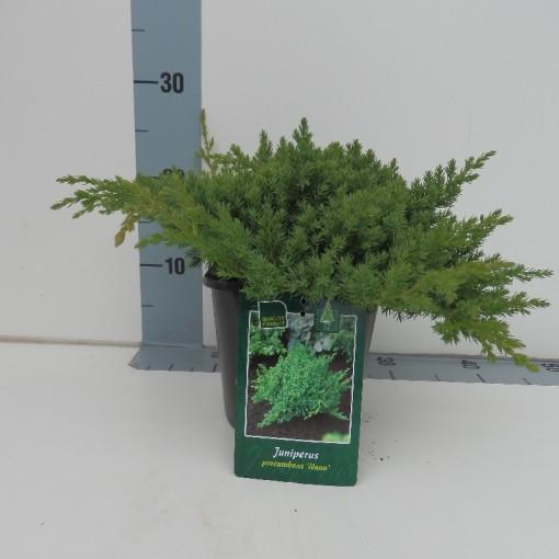 Juniperus procumbens 'Nana' (De Koekoek Potcultures)