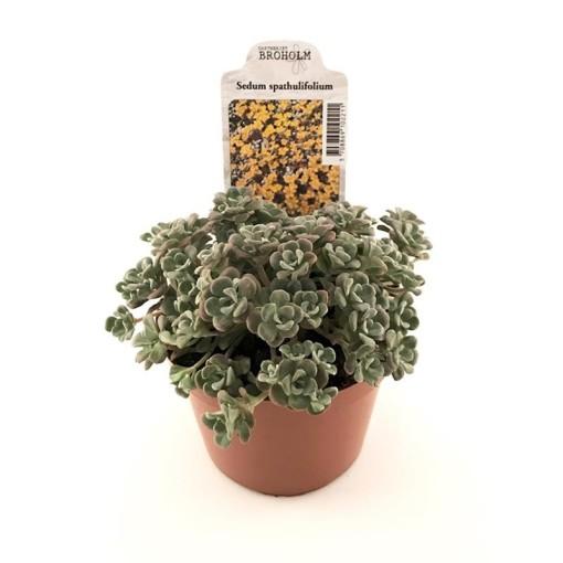 Sedum spathulifolium (Gasa DK)