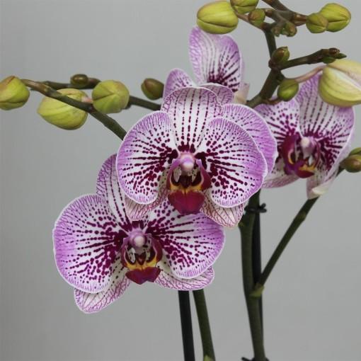 Phalaenopsis MANSION (Leerdam Orchideeën)