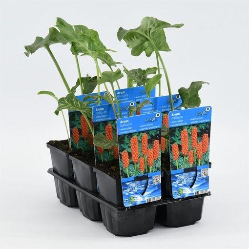 Arum italicum (Moerings Waterplanten)