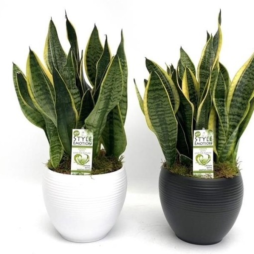 Sansevieria trifasciata 'Laurentii' (Westland Plant)