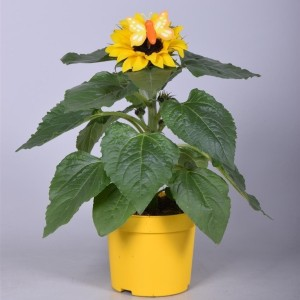 Helianthus annuus 'Sunsation'